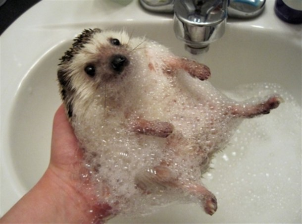 HedgieBath.jpg