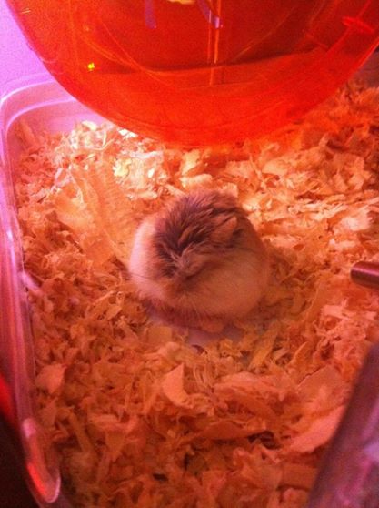My Roborovski Hamster. He would sleep like this all time. Named him Pook. RIP baby