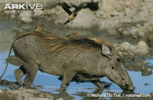 Common-warthog-with-redbilled-oxpeckers-perched-on-back.jpg
